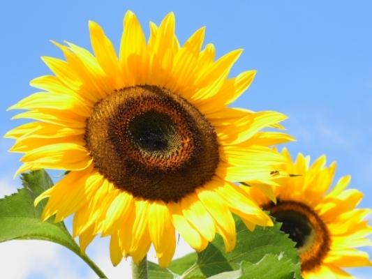 sunflower 8 wallpaper 1920x1080 - photo #47